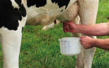 Rohmilch von der Kuh (Foto: ©El-Fausto /Pixelio)
