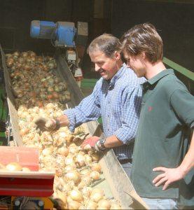 Dreck und kaputte Zwiebeln werden aussortiert (© Kreifelts Zwiebeln)
