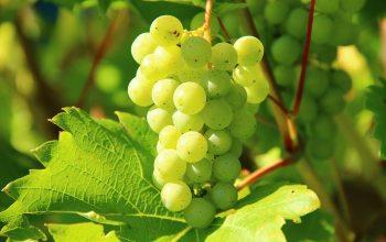 Als Federweißer versteht man einen noch in der Gärung befindenden Traubenmost (Foto: © pixabay.de)
