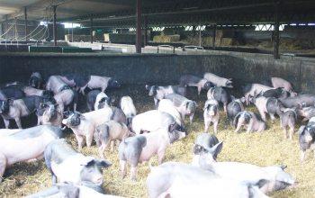 Pötterhof Schweinezucht (Foto: © EDEKA Kempken)