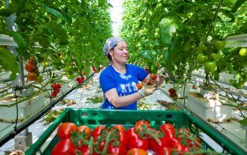 Tomaten Ernte (Foto: © Gartenbaubetrieb Germes)