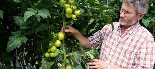 Theo Germes bei der Qualitätskontrolle seiner Tomaten (Foto: © Gartenbaubetrieb Germes)