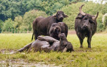 Wasserbüffel sind bekannt dafür, sich zu baden und zu suhlen. (Foto: Familie Mölders)