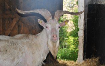 Eine Ziege vom Bauernhof